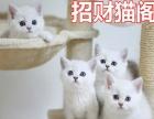 家养繁育纯种英国短毛猫萌萌银渐层宝宝 健康可爱