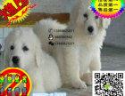 上海哪里有卖大白熊的 大白熊掉毛吗 大白熊一般多少钱