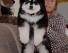 唐山哪里出售纯种宠物阿拉斯加