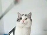 家庭猫舍特价起司,标斑,渐层找新家