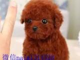 家养一窝迷你型泰迪熊幼犬价可面谈活泼好动毛色好品相