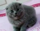 蓝猫 2000元纯种英短折耳猫猫咪三花母猫