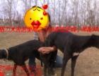 格力犬幼犬出售