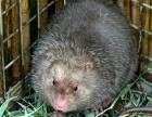 大老鼠2斤多