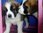 上海高品质纯种(圣伯纳幼犬)出售 纯种血统包退换