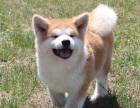 哪里有卖秋田犬秋田犬多少钱秋田犬图片秋田犬幼犬