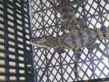 活体鳄鱼  鳄鱼苗养殖 鳄鱼宠物  宠物养殖 淡水鳄鱼苗出售