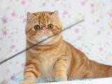 鄂尔多斯哪里有加菲猫卖 自家繁殖 品相极佳 多只可挑