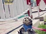 Cfa美国短毛猫,美短,标斑加白成猫宠物猫