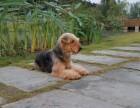 广州正规养殖基地出售纯种万能梗幼犬 血统纯正 健康出售