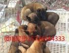 出售杜高犬,卡斯罗价格,马犬,莱州红,价格优惠