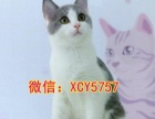 暹罗猫 暹罗宝宝 品相极佳