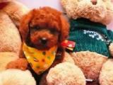 里有出售纯种泰迪 纯种红色泰迪犬 泰迪犬 钱一只