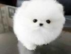 重庆哈多利球体白衣天使博美俊介宝宝大眼睛乖巧超可爱
