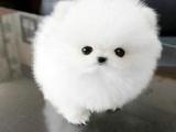 出售纯种球形博美犬哈多利博美犬博美犬活体幼犬博美宠