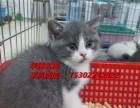 东莞哪里有卖蓝猫小猫价格多少钱纯种蓝白正八小猫咪价格多钱