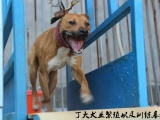 中国最大的比特犬养殖场,比特犬多少钱一只,最新比特犬价格