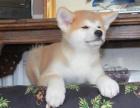 日本进口秋田犬,证书齐全,网上可查到血统,绝对健康