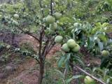 哪里有嫁接蜂糖李苗,蜂糖李子苗种植技术,宜宾有卖蜂糖李果树苗