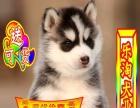正规狗场繁殖、随时送货 哈士奇、种公借配、可看狗父母