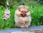 最小的狗是什么品种