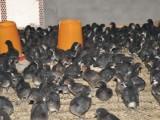 纯种五黑鸡鸡苗 纯种五黑鸡鸡苗价格 纯种五黑鸡鸡苗图片