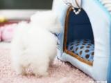家庭繁殖哈多利球体博美 黄色 白色可挑选 质保