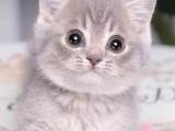 矮脚曼基康幼猫宠物猫蓝白银渐层美短纯白乳色拿破仑