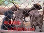 大骨架双血统的黑狼犬多少钱一只 黑狼犬幼犬图片价格
