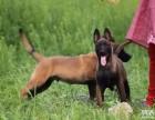 出售精品马犬 保纯种健康 体型好结构好 撕咬能力强公母均有