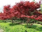 绿化公司铺草坪,种竹子,果树苗木,大叶黄杨,冬青