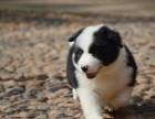 纯种 边境宝宝狗狗中的小诸葛超聪明超懂事保健康