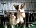 纯种威尔士柯基犬 双色三色均有 健康纯种 可签协议
