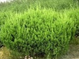 常年供应工程绿化龙柏苗60公分龙柏苗