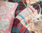 纯白色无毛猫双蓝眼睛七个多月1200 价格以标题