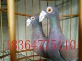 出售雪花弯梁大鼻子鸽,一对弯梁雪花鸽多少钱,出售各种观赏鸽