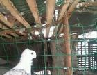 处理观赏鸽,不想养了