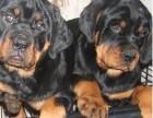 精品罗威纳幼犬纯种罗威纳