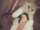 英国短毛猫 公猫 找配偶 常州