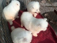 纯种萨摩耶 萨摩耶幼犬 保健康 价格便宜