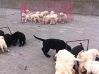 重庆专业可三百出售 拉拉比熊 泰迪 博美 雪纳瑞 犬品种齐全