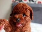成都高品質泰迪犬 免費送貨到家 售后簽訂協議 全天看狗