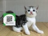 烟台哪里有虎斑猫出售 烟台虎斑猫价格 烟台宠物猫转让出售