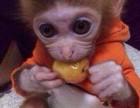 快手里看到的小猴子哪里有卖多少钱一只?