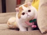 合肥出售纯种双色布偶猫 五粉温顺黏人 疫苗齐全包健康