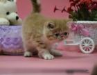 本地繁殖出售加菲猫 渐层 蓝白无病无癣 签协议