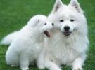 萨摩耶多少钱 萨摩耶宠物犬 萨摩耶血统 萨摩耶喂养