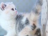 猫娜家 家庭繁育品种猫咪!保证每只猫咪的健康科学喂