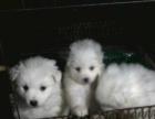 一窝2各月大家养漂亮的银狐犬宝宝出售了,包健康!