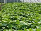 脱毒红薯苗-高淀粉红薯苗商薯19供应